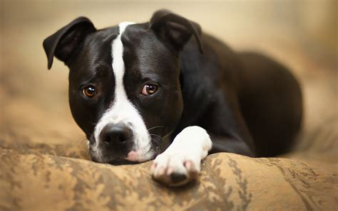 Download Staffy Pictures Wallpapers Gallery
