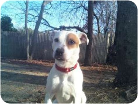 Pickles | Adopted Dog | Pocasset, MA | Jack Russell