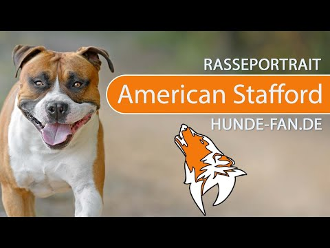 American Staffordshire Puppies Breed information & Puppies