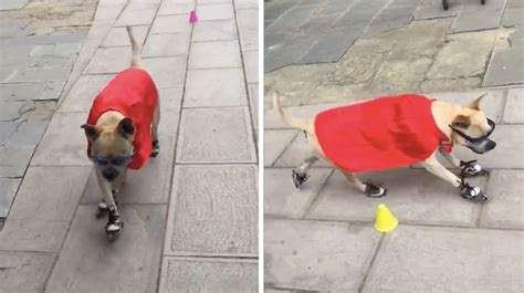 This Roller-skating Dog Will Blow You Away With His